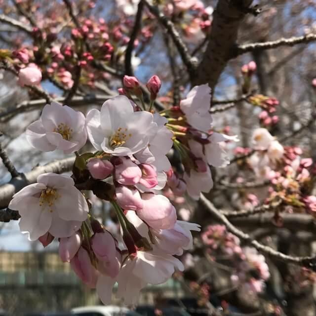 開花したての桜がちょっとだけ