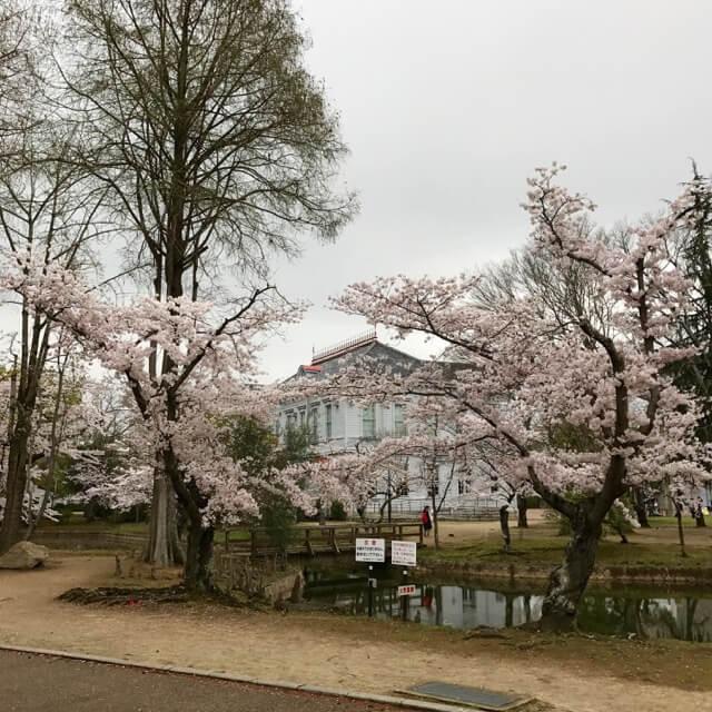 桜開花から1週間後、総合グラウンドハウス前