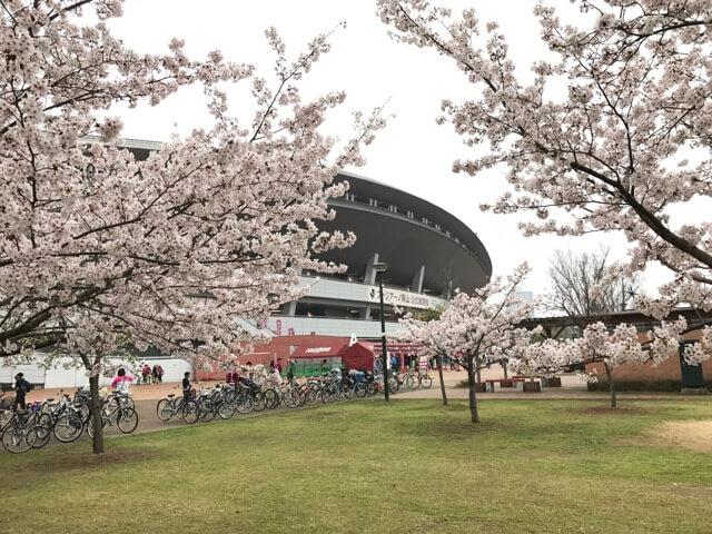 スタジアム近くにも桜あるよ