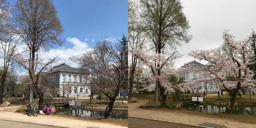 桜咲き具合比較